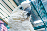 Beautiful and fluffy white parrot, close-up looking at the camera. Wide-angle photo.