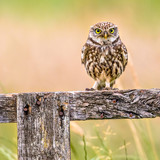 Little Owl perched on log - 238181515