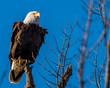Bald Eagle on a perch near the Potomac River