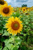 Yellow sunflowers on the background of the summer sky