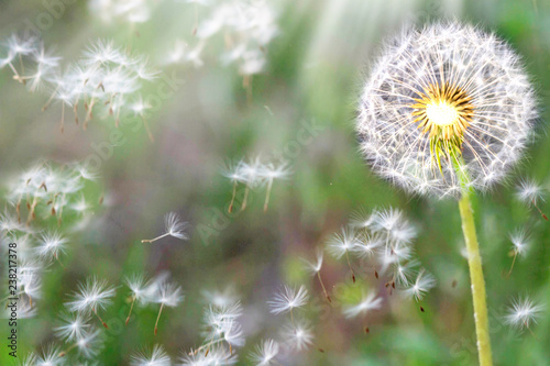 Dandelion seeds in the sunlight blowing away across a fresh nature green morning background - 238217378