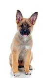 Young German Shepherd dog