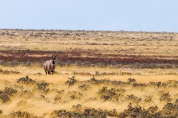Gemsbok ( Oryx Gazella) standing and looking towards the camera, Etosha National Park, Namibia.