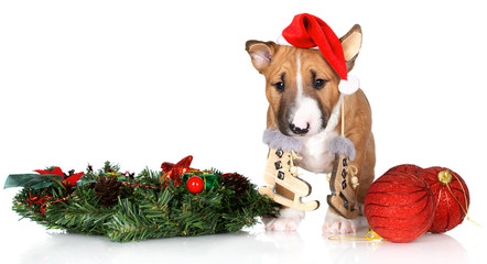 red miniature bull terrier puppy posing in a santa hat for Christmas