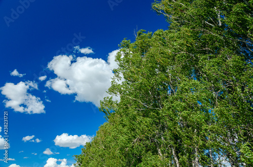 Summertime natural background.Green birch tree tops on a background of blue summer sky with amazing white clouds.Windy day. - 238231721