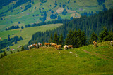 Small herd of cows grazing on a mountain pasture in Switzerland
