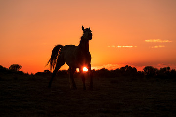 Wild Horse Silhouetted at Sunset © natureguy