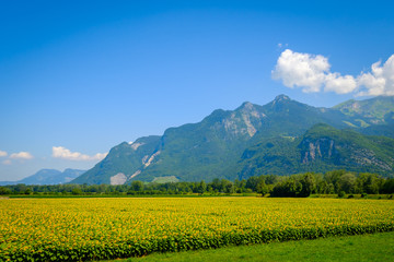 Sunflower field and mountains at summer in Switzerland
