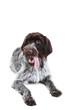Quadro German pointer dog isolated on white background