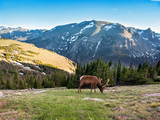 Bull elk with large  antlers grazing  on early summer evening. Rocky Mountain National Park, Colorado, USA