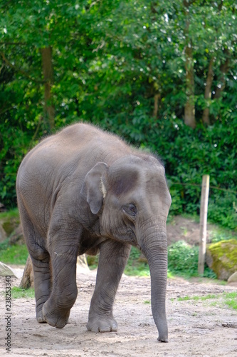 Big adult elephant in park