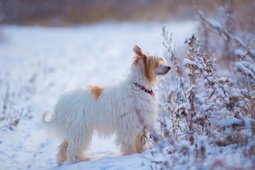 Chinese crested dog in snow © Татьяна Севостьянова