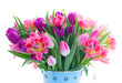 Pink and violet tulip fresh flowers isolated on white background
