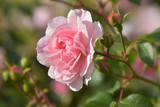 A large flower of a delicate pink rose with open petals on a bush covered with buds and green leaves