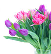 Pink and violet fresh tulip flowers bouquet isolated on white background