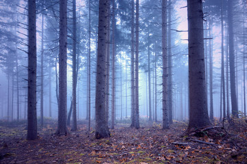 Fantasy soft blue pink colored foggy conifer forest landscape. © robsonphoto