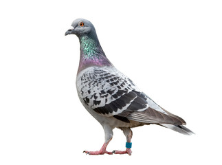 full body of speed racing pigeon bird isolated white background © stockphoto mania