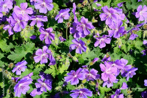 Purple Geranium Grandiflorum plant in full bloom.