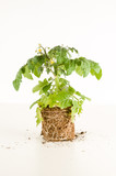 Young tomato plant - 238337114