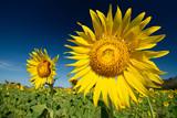 Sunflower Farm at Lopburi Province, Thailand