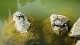 two turtles sit on rocks in the water - 238357104