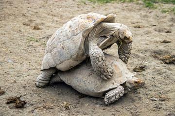 Tortue géante des Seychelles