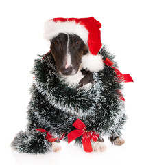 miniature bull terrier dog in Santa hat posing on white