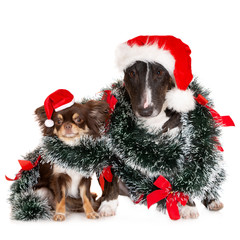two dogs posing in Santa hats for Christmas on white background