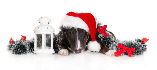 black bull terrier dog posing in Santa hat