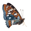 cyan and orange butterfly isolated on white