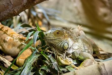 Iguane vert © guitou60