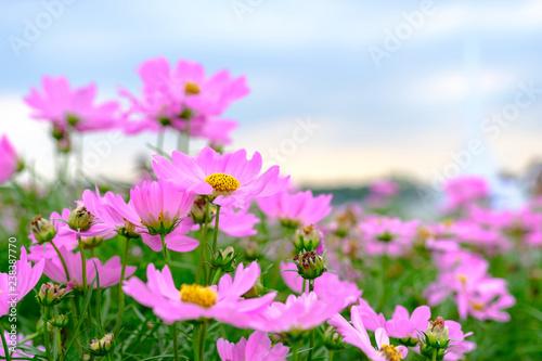 Pink flowers in field.