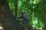 Sri Lanka monkey - 238391146