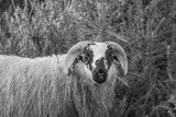 A Sheep with Horns in the Gorse - Black and White - 238392962