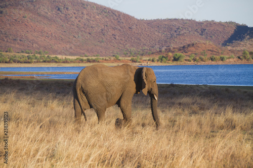Elephant walking through the savannah of National Park in South Africa