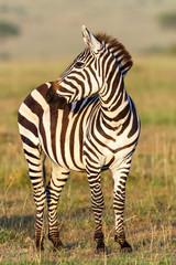 Close up of a zebra on the savanna