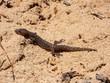 Marbled Leaf-Toed Gecko (Afrogecko porphyreus)
