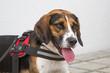 Portrait eines Beagles
