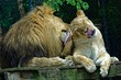 Lions are cats too - USA