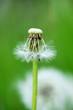 Beautiful white dandelion with seeds on green background - selective focus, space for text, vertical orientation
