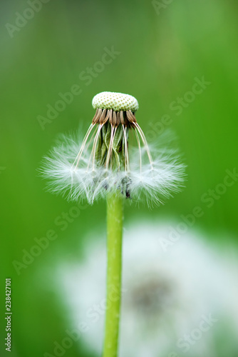 Beautiful white dandelion with seeds on green background - selective focus, space for text, vertical orientation - 238427101