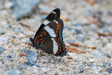 Butterfly on rocky ground with wings folded up - 238453715