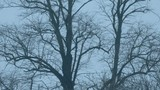 Tree Trunks In The Wind At Dusk - 238458963