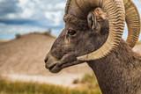 Bighorn sheep - 238459924