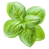 Fresh sweet Genovese basil leaves isolated on white background cutout. - 238472324