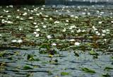 白い蓮とコウホネが咲く沼にマガモ