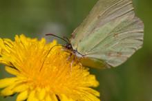 """Постер, картина, фотообои """"The butterfly on a dandelion"""""""