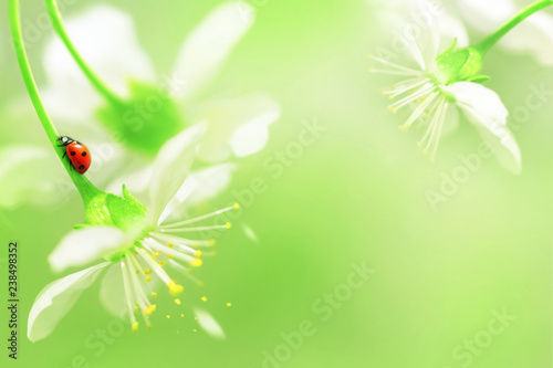 Natural spring background. Red ladybug on white cherry flowers. Copy space. Green and yellow color.