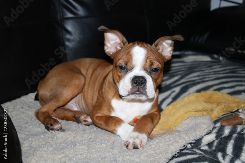 Red Boston Terrier Puppy Buy Photos Ap Images Detailview