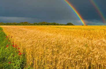 Field with ripening wheat and approaching thunderstorm © sergei_fish13